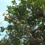 トラツグミの珍しい鳴き声は縁起悪い?ピーヒョウと夜になぜ鳴く?